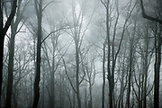 Winter forest shrouded in mist, North Carolina, USA.