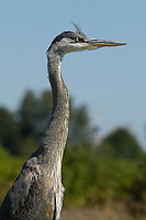 Great Blue Heron (Ardea herodias). near Vancouver Airport, British Columbia, Canada