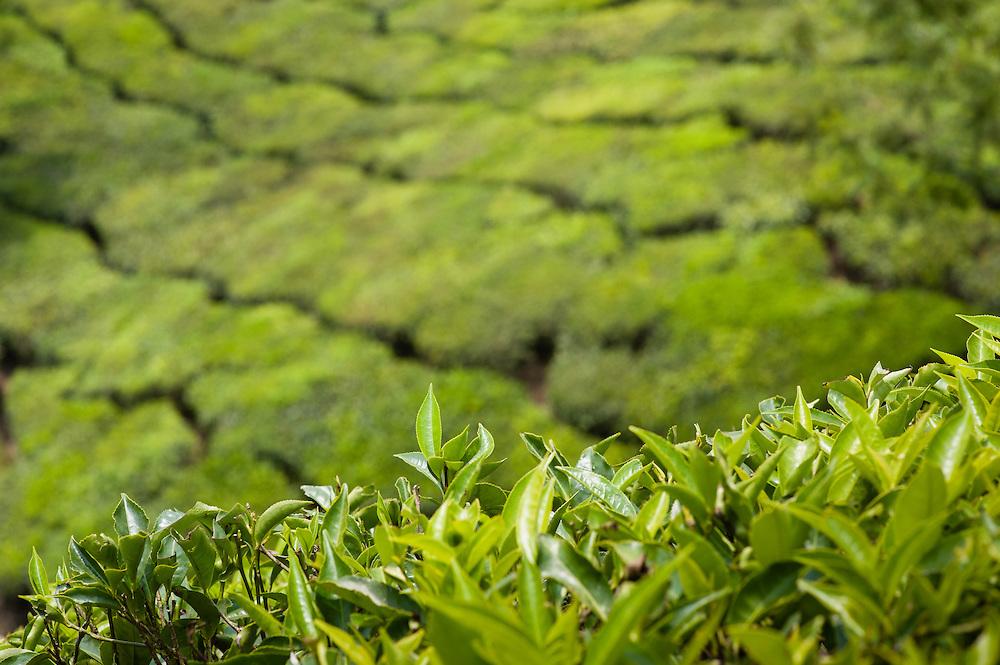 Tea plantation in Munnar (India)
