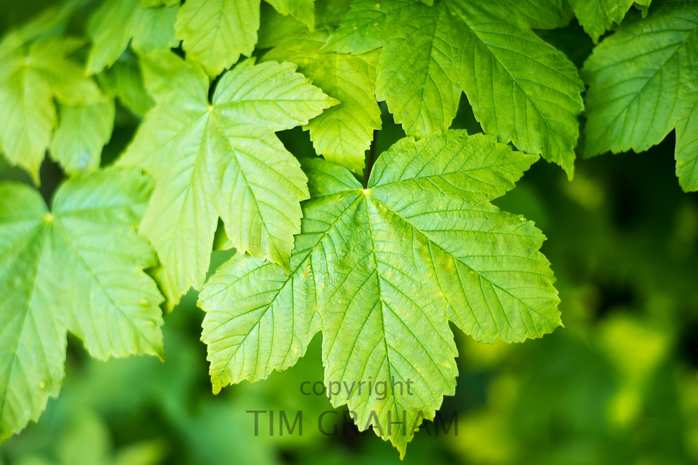 Sycamore tree - Acer pseudoplatanus - broadleaf deciduous leaves in late Spring / early Summer in the Gloucestershire Cotswolds, UK