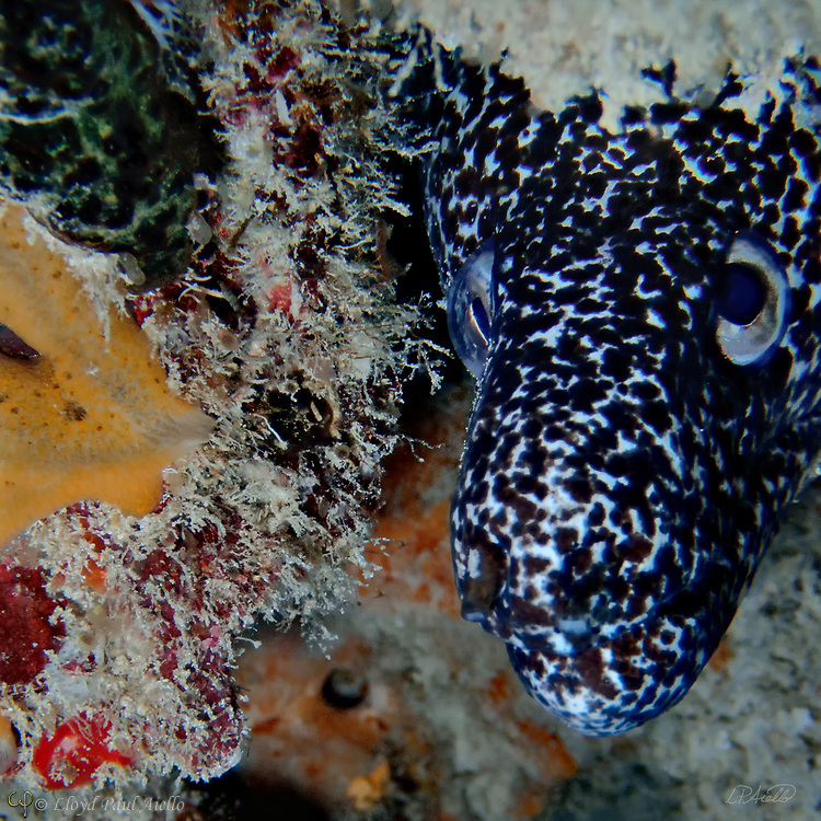 The spotted moray (Gymnothorax moringa) is a medium sized moray eel also referred to as conger, spotted eel, red moray, speckled moray, white cong, white-jawed moray, and white-chinned moray. Spotted moray eels are commonly 24 inches (60 cm) in length but can grow to more than 6.5 feet (2 m) and weigh 5.5 pounds (2.5 kg).  They inhabit the western Atlantic Ocean from North Carolina and Bermuda to Brazil, including the Gulf of Mexico and the Caribbean. They are also found around the mid- and eastern Atlantic islands as far south as St Helena.   Although spotted moray eels have been reported as deep at 660 feet (200 m), this individual is hiding 54 feet below the surface off the Riviera Maya in the Gulf of Mexico. Spotted morays are solitary animals, and usually hide in narrow crevices and holes in reef structures with only their heads peeking out as shown here.  They have double rows of teeth and are active during the day, feeding on crustaceans and fish at or near the sea bottom. Their bite can cause damage due to the rearward slanting teeth and potential toxins that may be released into the wound.