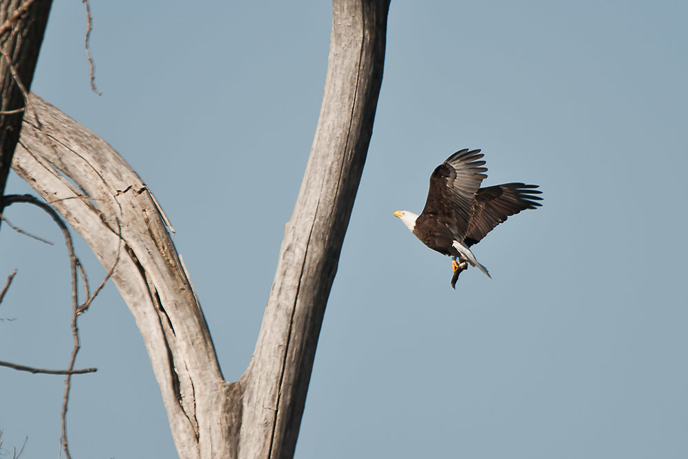 Eagle returning to perch tree to eat a bullhead.