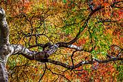 This Garnet Japanese Maple displays its beautiful fall foliage at the Greensboro Arboretum, North Carolina