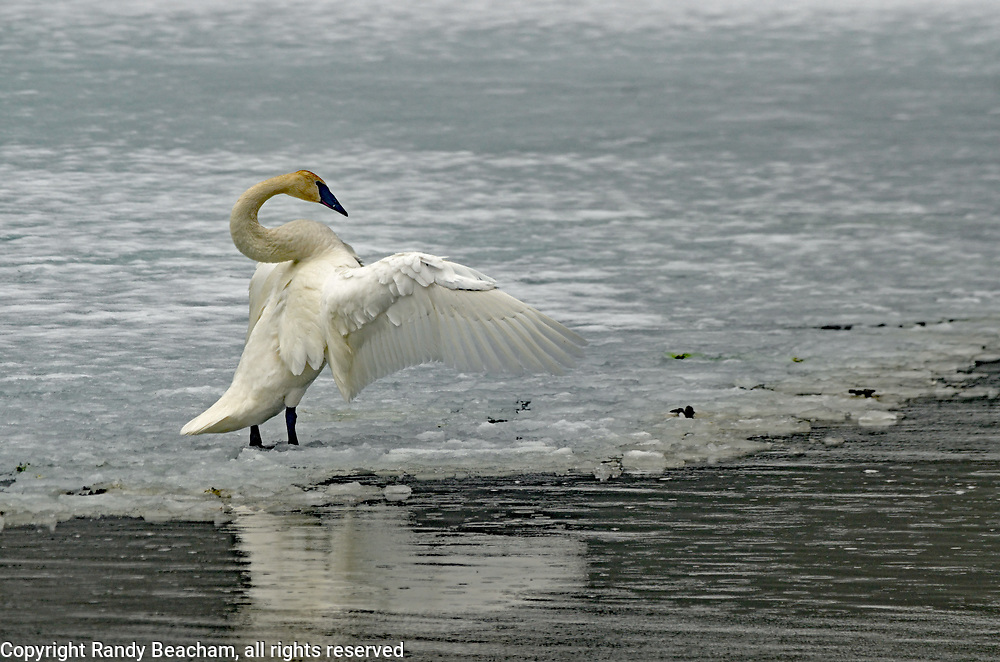 Trumpeter swan spreading its wings on an ice shelf on the Yaak River in late winter during an early migration. Yaak Valley in the Purcell Mountains, northwest Montana.