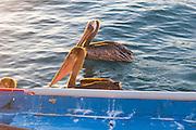 Pelican, Marina, Cabo San Lucas, Baja, Mexico