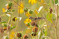 An immature American Goldfinch feeds on the little sunflower seeds as they start drying up in late summer days.