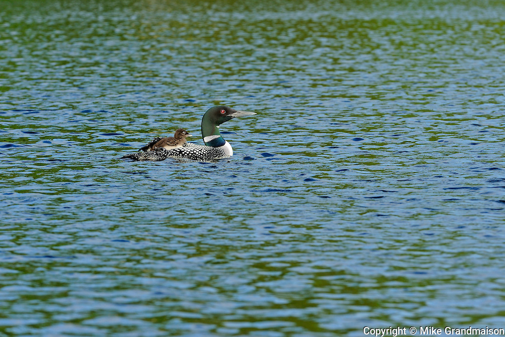 Common loon (Gavia immer) with chick on CAssels Lake<br /> Temagami<br /> Ontario<br /> Canada