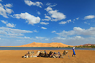 Dromedaries rest at the rain-filled lake near the Erg Chebbi sand dunes in Merzouga, Morocco.