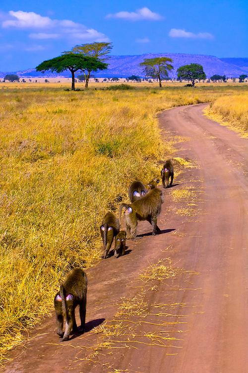 A troop of baboons, Serengeti National Park, Tanzania