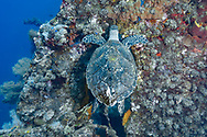 Hawksbill sea turtle-Tortue imbriquée (Eretmochelys imbricata), Bali island, indonesia.