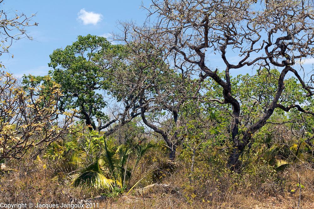 Wooded savanna (called  cerrado in Brazil), end of dry season. Minas Gerais - Bahia State, Brazil. Stemless palm is Attalea geraensis.