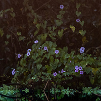The (flipped) reflection of morning glory flowers and vines growing along Pahuachiro Creek off of the Maranon River in the Peruvian Amazon.