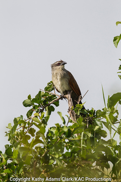 White-Browed Coucal, Centropus superciliosus, perched on top of a bush, Serengeti, Tanzania, Africa.