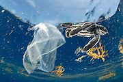 Leatherback turtle (Dermochelys coriacea) and plastic bag photographed off Jupiter, Florida, USA