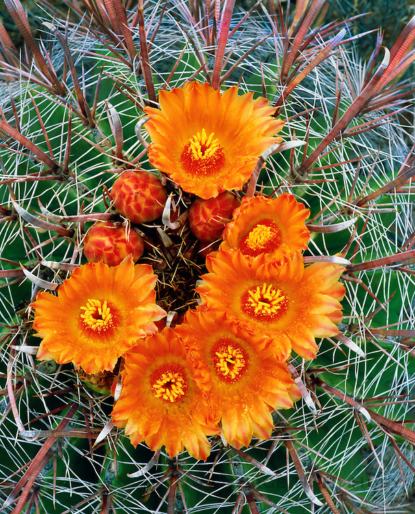 0112-1006 ~ Copyright: George H.H. Huey ~ Barrel cactus in bloom [Ferocactus wislinenii].  Sonoran Desert.  Organ Pipe Cactus National Monument, Arizona