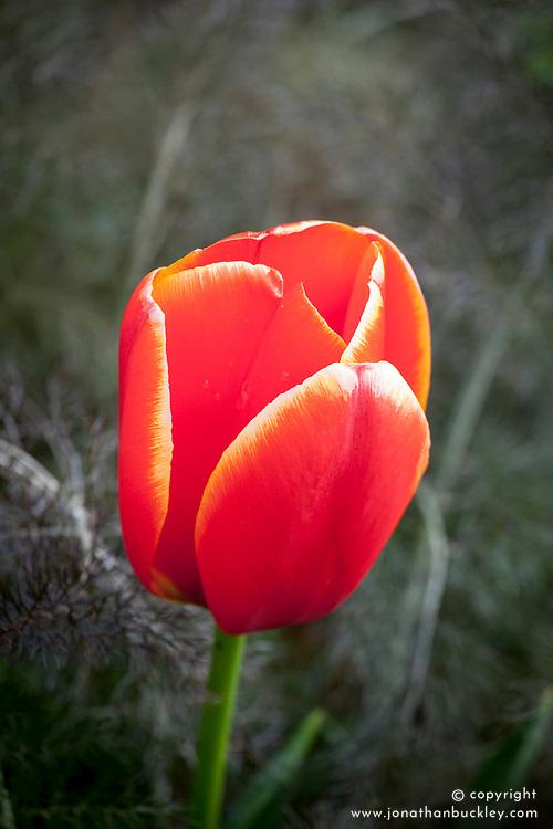Tulipa 'World Favourite' with bronze fennel