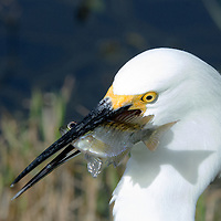A Great Egret with brunch at Shark Valley, Everglades National Park.