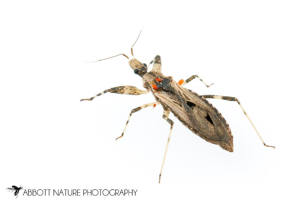 Assassin Bug (Diaditus tejanus)<br /> United States: Alabama: Tuscaloosa Co.<br /> Tulip Tree Springs off Echola Rd.; Elrod<br /> 28-Jun-2016<br /> J.C. Abbott #2840 &amp; K.K. Abbott