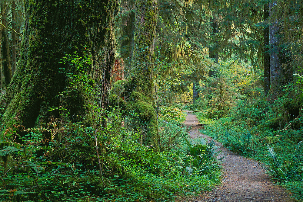 Hoh River Trail through old-growth temperate rainforest; Olympic National Park, Washington.