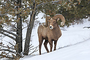 Bighorn Ram in Yellowstone in Winter