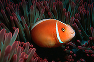 Pink anemonefish,  Amphiprion perideraion, in sea anemone, Great barrier reef marine park, Australia (South Pacific).