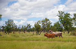 A Brahman cow and calf enjoy green pasture in the wet season.