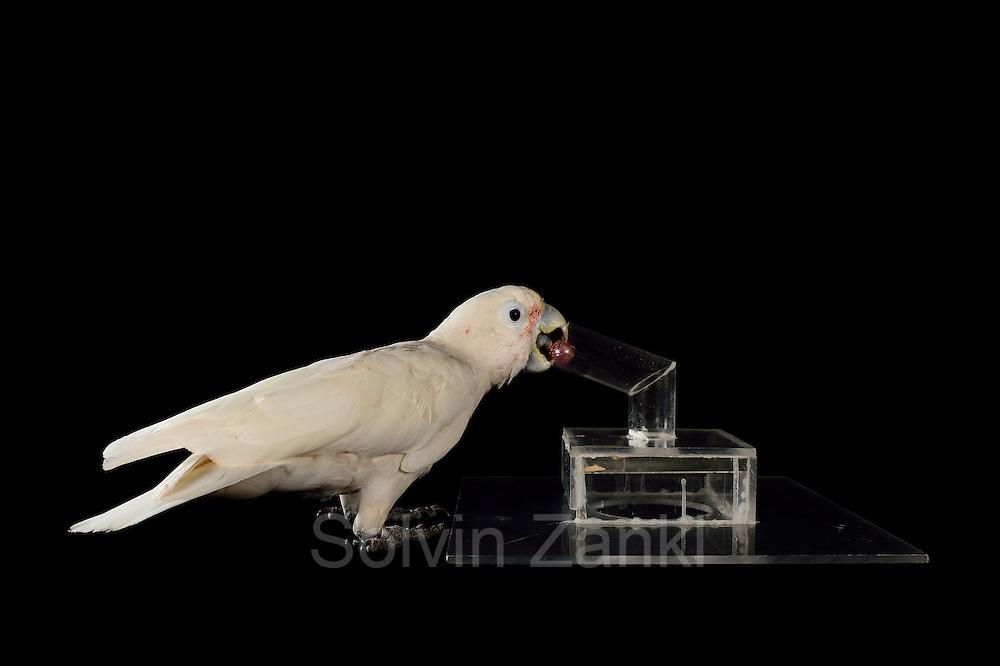 [captive] Goffin's cockatoo (Cacatua goffiniana). In this experiment, the cockatoo learns to use a tool. It needs to use a small ball to remove a treat (peanut) from a box. Goffin's cockatoos or Tanimbar Corellas are endemic to the Tanimbar archipelago in Indonesia. Research on their cognitive abilities is done in the Goffin Lab (Lower Austria) by Dr. Alice M. I. Auersperg. Sequence 3/8. | Goffinkakadu (Cacatua goffiniana). In diesem Versuch muss der Goffinkakadu erlernen, mit einer Kugel eine Belohnung (Erdnuss) heraus zu kegeln, um sie zum Rausfallen aus einer ansonsten unzugänglichen Box zu bringen. Der Kakadu lernt hierbei den Werkzeuggebrauch. Der Goffinkakadu ist eine Papageienart und kommt in freier Wildbahn ausschließlich auf der indonesischen Inselgruppe Tanimbar vor. Forschung zu kognitiven Fähigkeiten des Goffinkakadus wird im Goffin Lab (Niederösterreich) von Dr. Alice M. I. Auersperg durchgeführt. Sequenz 3/8.