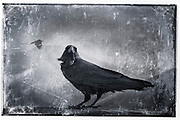 Profile of a black raven<br />