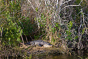 Alligator, The Everglades, Florida, USA