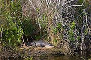 Alligator, The Everglades, Florida, USA