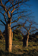 Kimberley: Baobabs trees are a common sight in the Kimberley.