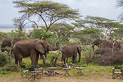 Elephants in camp, Serengeti National Park, Tanzania