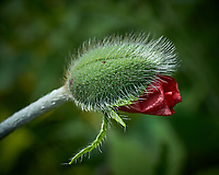 Red poppy flower about to open. Backyard spring nature in New Jersey. Image taken with a Fuji X-T1 camera and 60 mm f/2.4 macro lens (ISO 200, 60 mm, f/8, 1/320 sec).