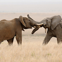Bull elephants fighting, Masai Mara, Kenya