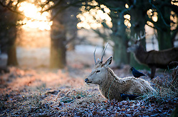 © Licensed to London News Pictures. 03/01/2017. London, UK. Deer sit in frost covered woodland at sunrise in Richmond Park in London as temperatures in the capital drop below zero. . Photo credit: Ben Cawthra/LNP