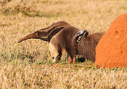 The baby anteater hitches a ride while mom feeds in the evening light.