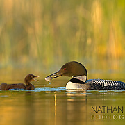 Common Loon feeding chick small fish on golden water;  Minnesota.