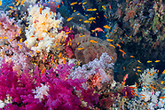 Anthias (Anthias anthias)
