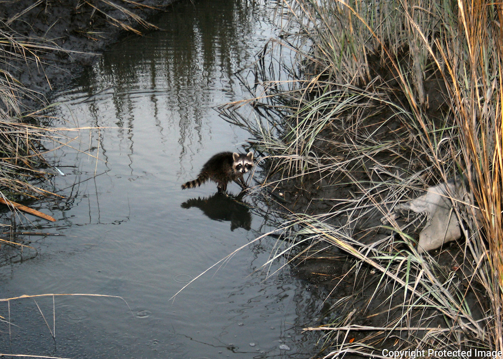 Baby Raccoon foraging for food in a Jekyll Island creek at dusk.