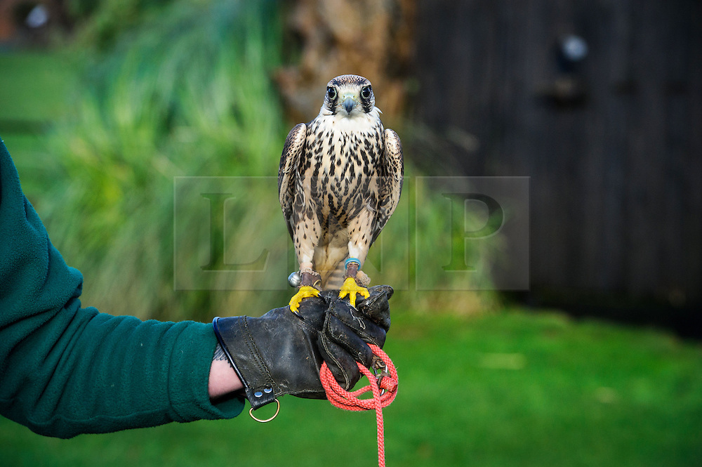 &copy; Licensed to simonjacobs.com. 07/01/2014 Whipsnade, UK.  Lenny the African Lanner Falcon is held by a keeper during the annual stocktake at Whipsnade Zoo.<br /> Home to more than 2,500 animals zookeepers take stock of every invertebrate, bird, fish, mammal, reptile, and amphibian.<br /> The compulsory count is required as part of the zoo&rsquo;s license, the results are logged and the data is shared with zoos around the world to manage international breeding programmes. Photo credit : Simon Jacobs