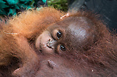 Baby And Mum Orangutan Cling To Each Other Until Help Arrives
