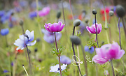 Anemone De Caen flowers in bloom in the English countryside of Cornwall, England.