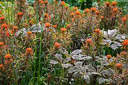 Euphorbia griffithii 'Fern Cottage' with Rodgersia podophylla, Rodgers' bronze-leaf
