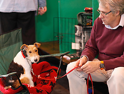 © Licensed to London News Pictures. 11/03/2012. A wire Fox Terrier waits patiently with his owner as they prepare for the Terrier and Hound day of the 2012 Crufts final at the Birmingham NEC Arena.  With over 28,000 dogs taking part the tension is high as the competition draws towards the prestigious title of  Best in Show. Photo credit: Alison Baskerville/LNP