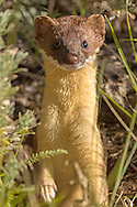 The tiny long-tailed weasel is a ferocious predator, often overpowering prey more than twice its size. Although it is able to subdue larger prey, mice and voles still make up the majority of its diet.
