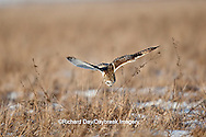 01113-01317 Short-eared Owl (Asio flammeus) in flight at Prairie Ridge State Natural Area, Marion Co., IL