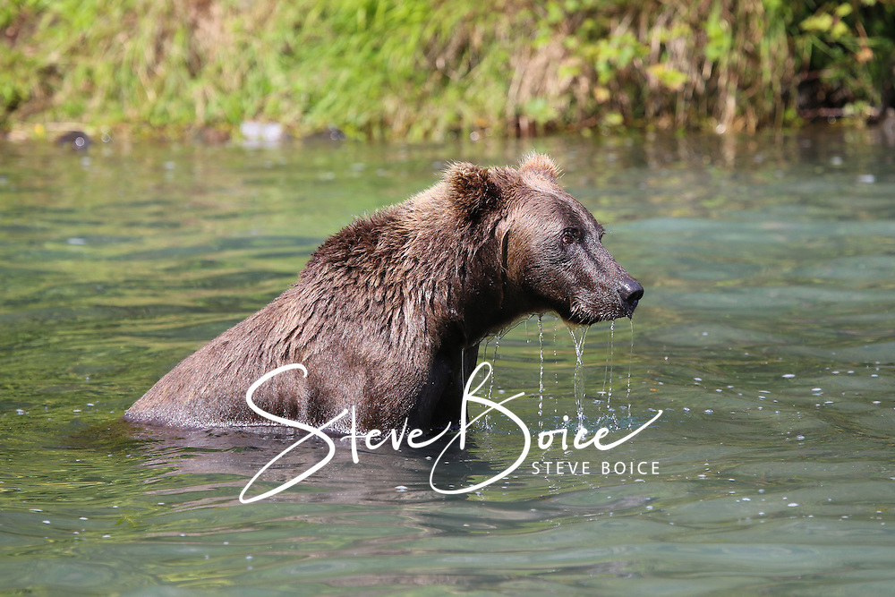 Grizzly bear sitting in river