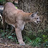 Cougar - Felis concolor