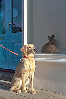 Mixed-breed Golden Retriever-Poodle cross ignoring a Burmese cat in Kent