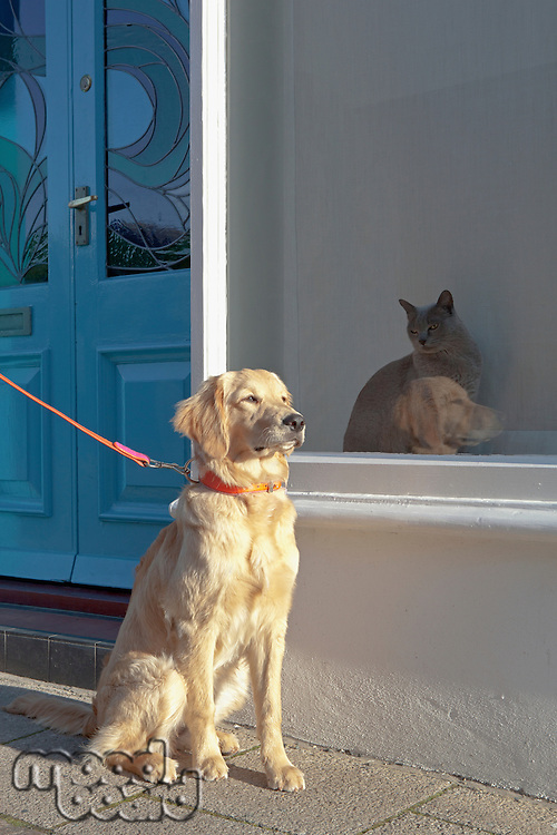 Mixed-breed Golden Retriever-Poodle cross ignoring a Burmese cat in Kent